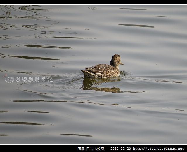 雁形目-小水鴨_01