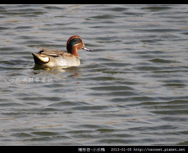 雁形目-小水鴨_05