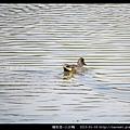 雁形目-小水鴨_07