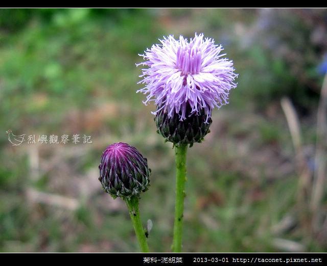 菊科-泥胡菜_03