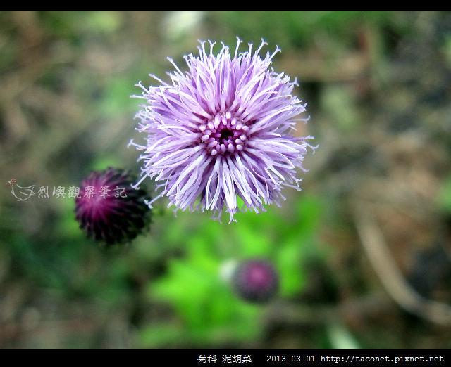 菊科-泥胡菜_02