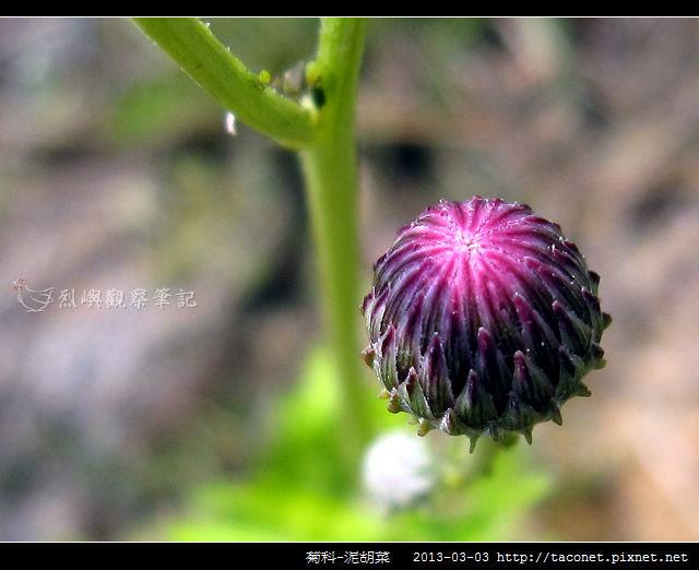 菊科-泥胡菜_05