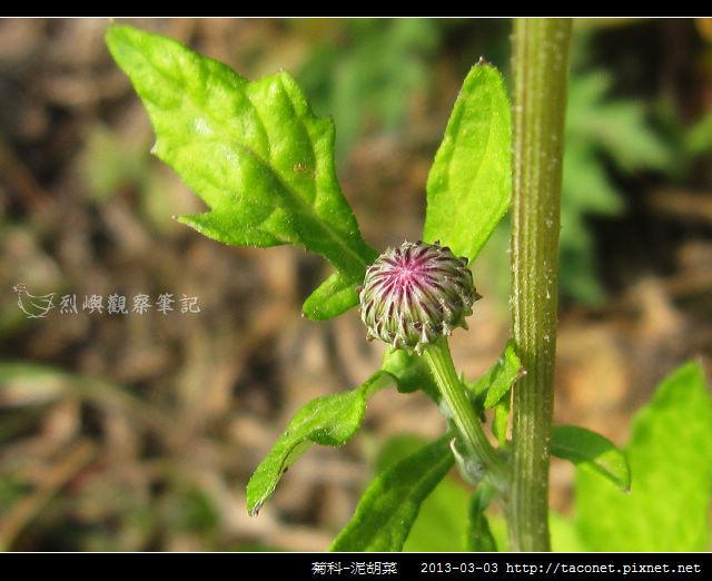 菊科-泥胡菜_06