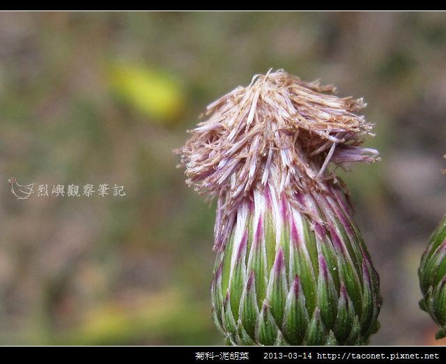 菊科-泥胡菜_09