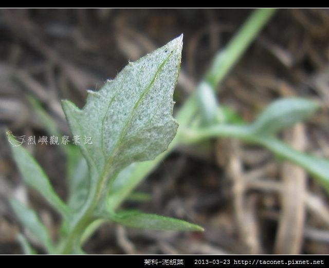 菊科-泥胡菜_12