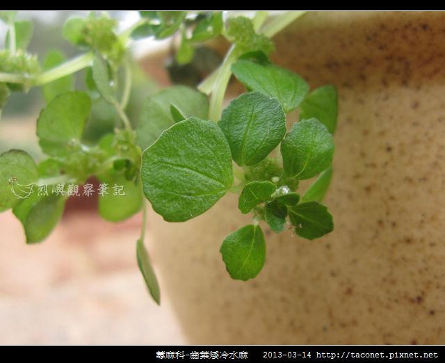 蕁麻科-齒葉矮冷水麻_01