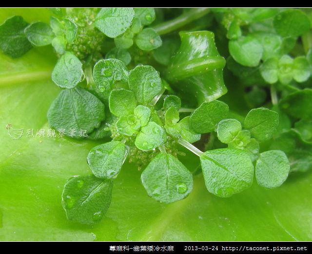 蕁麻科-齒葉矮冷水麻_05