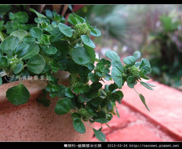 蕁麻科-齒葉矮冷水麻_06