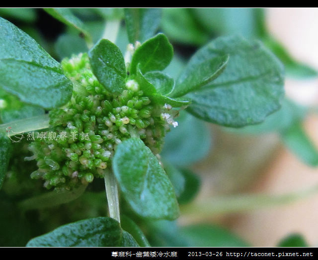 蕁麻科-齒葉矮冷水麻_07