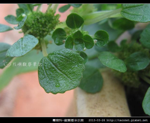 蕁麻科-齒葉矮冷水麻_08