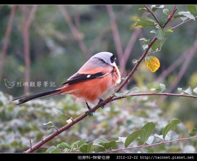 雀形目-棕背伯勞_03