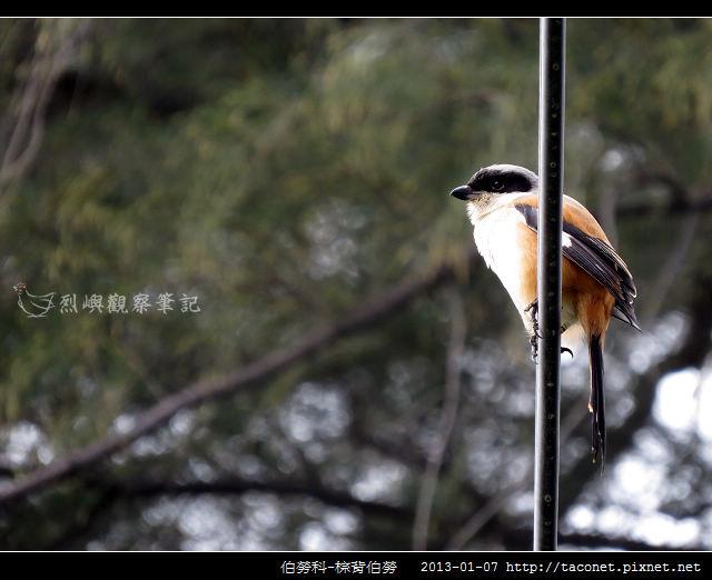 雀形目-棕背伯勞_07