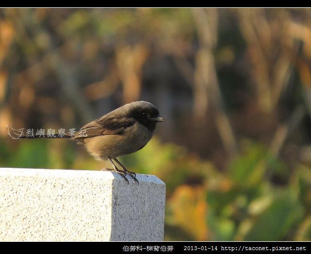 雀形目-棕背伯勞_10