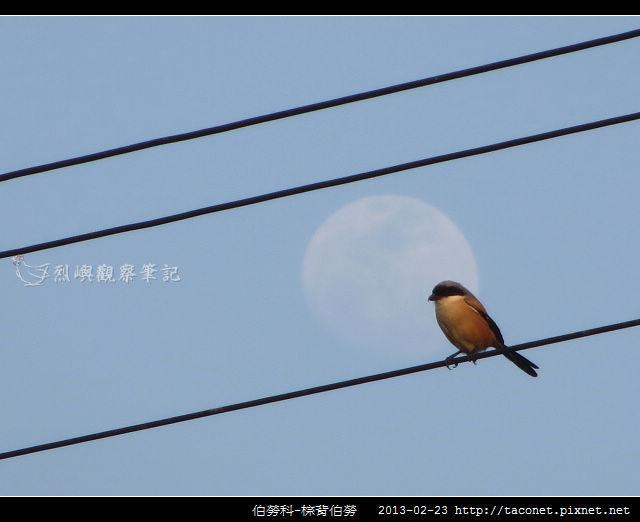 雀形目-棕背伯勞_08