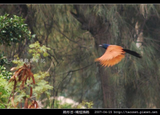 鵑形目-褐翅鴉鵑_02