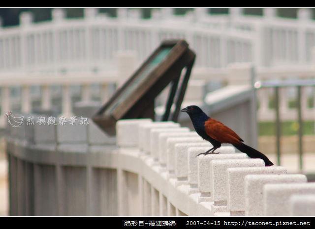 鵑形目-褐翅鴉鵑_01