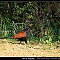 鵑形目-褐翅鴉鵑_03