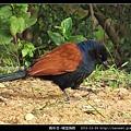 鵑形目-褐翅鴉鵑_05