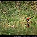鵑形目-褐翅鴉鵑_06