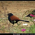 鵑形目-褐翅鴉鵑_07