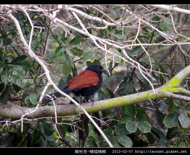 鵑形目-褐翅鴉鵑_10