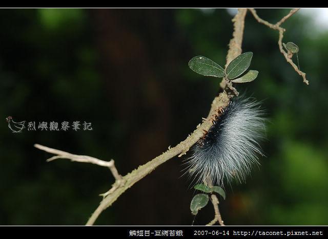 鱗翅目-巨網苔蛾_01