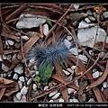 鱗翅目-巨網苔蛾_02