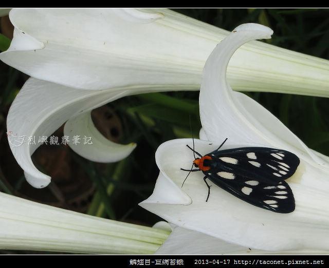 鱗翅目-巨網苔蛾_03