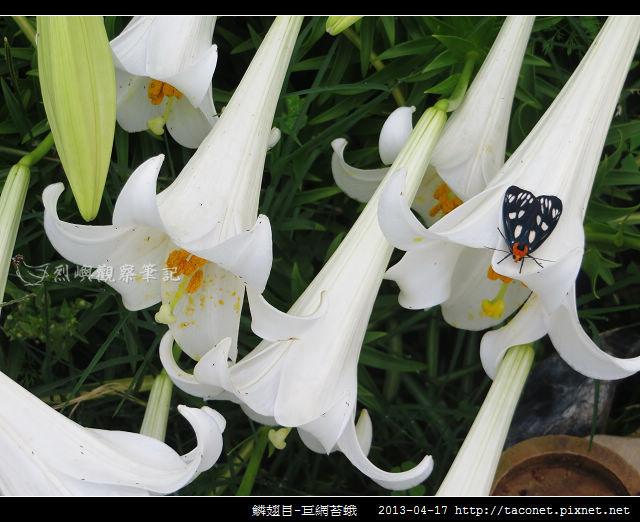 鱗翅目-巨網苔蛾_04