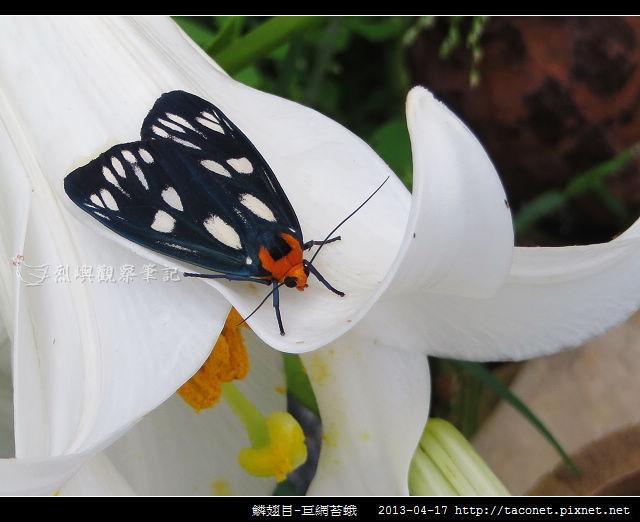 鱗翅目-巨網苔蛾_05