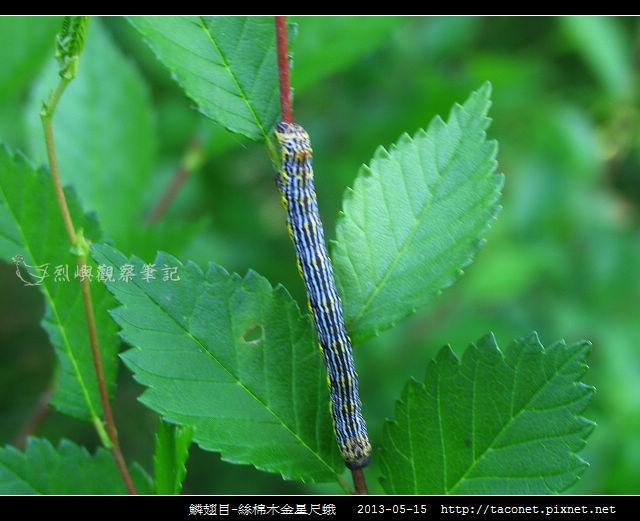 鱗翅目-絲棉木金星尺蛾 _01