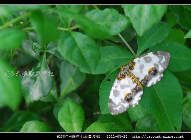 鱗翅目-絲棉木金星尺蛾 _02