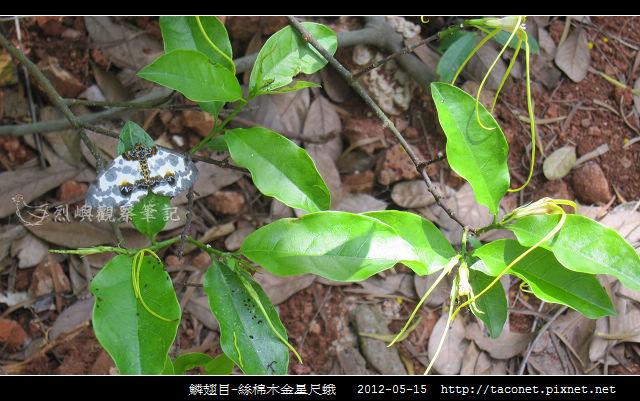 鱗翅目-絲棉木金星尺蛾 _05
