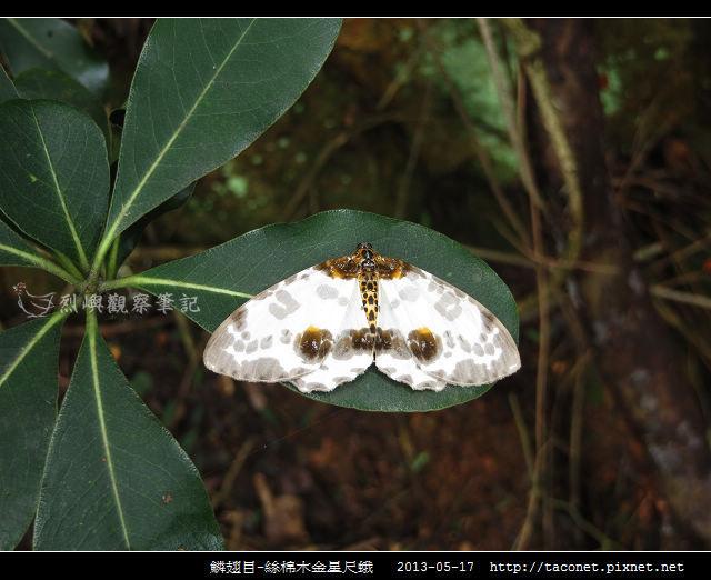 鱗翅目-絲棉木金星尺蛾 _07