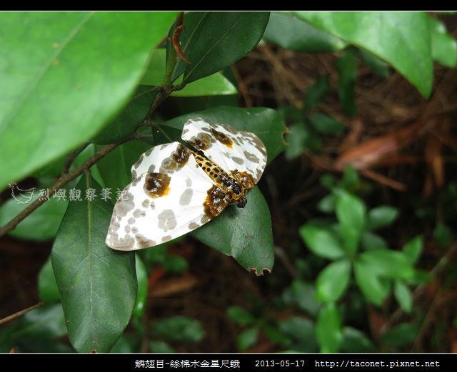 鱗翅目-絲棉木金星尺蛾 _09