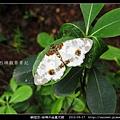 鱗翅目-絲棉木金星尺蛾 _08