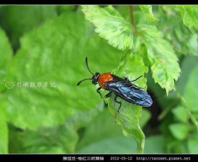 膜翅目-榆紅三節葉蜂_01