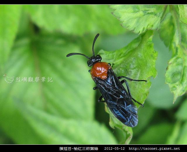 膜翅目-榆紅三節葉蜂_02