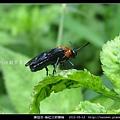 膜翅目-榆紅三節葉蜂_03