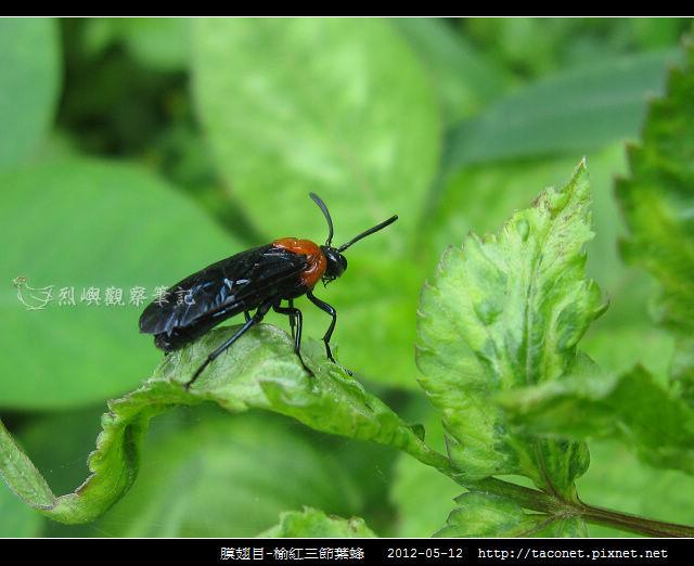 膜翅目-榆紅三節葉蜂_04