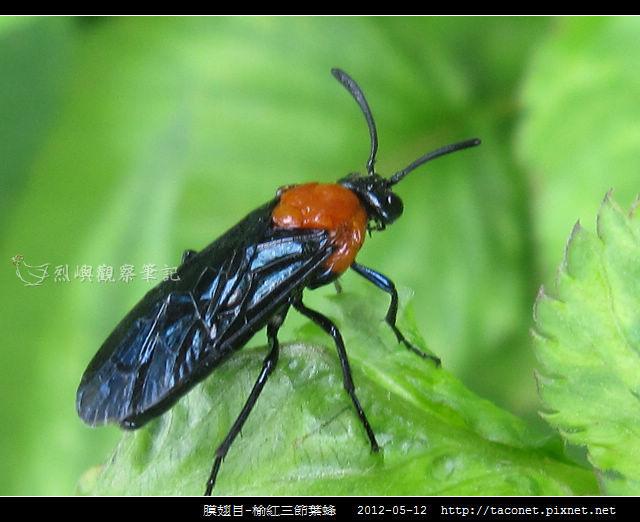 膜翅目-榆紅三節葉蜂_05