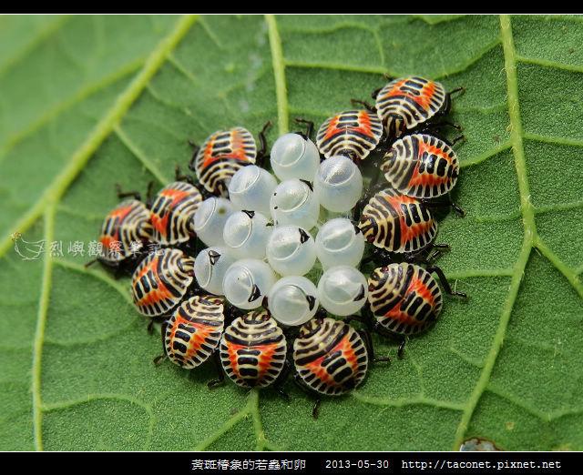黃斑椿象的若蟲和卵
