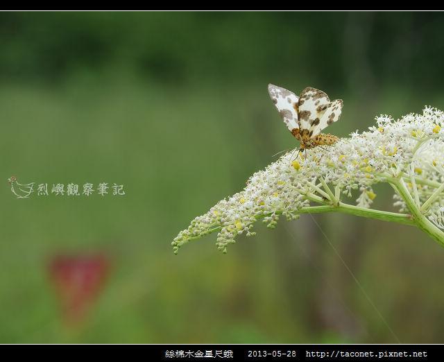 絲棉木金星尺蛾_01