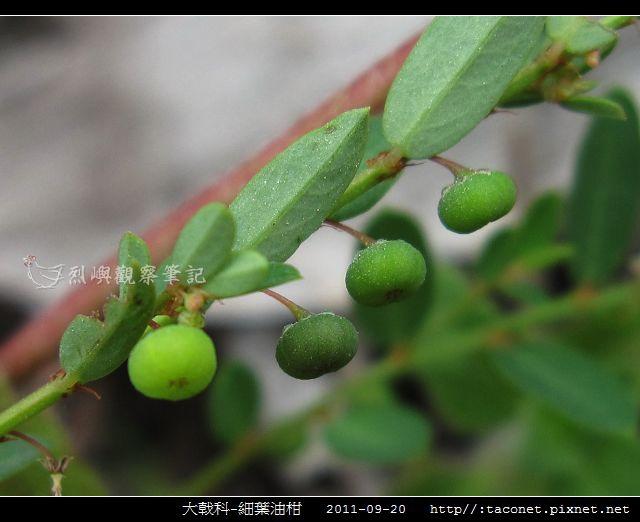 大戟科-細葉油柑_04