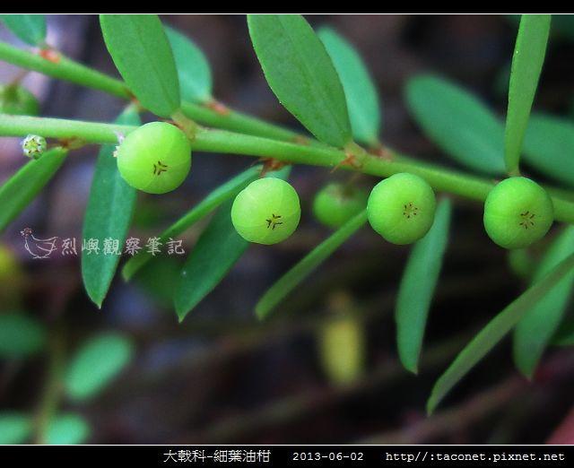 大戟科-細葉油柑_06