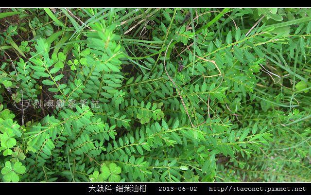 大戟科-細葉油柑_08