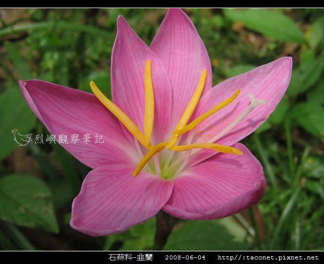 石蒜科-韭蘭_01
