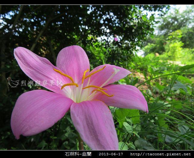 石蒜科-韭蘭_04