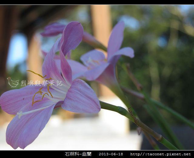 石蒜科-韭蘭_06