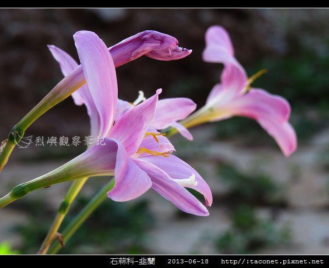 石蒜科-韭蘭_07